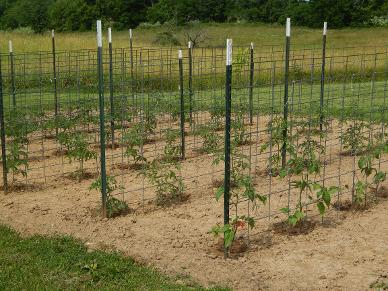 Second planting of tomatoes